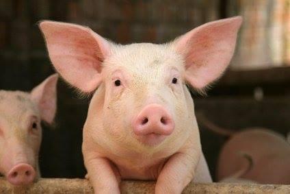 beau-cochon