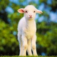 Pourquoi boycotter la laine ?