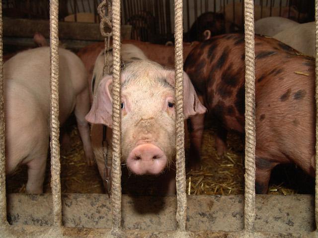 factory-pig-farm