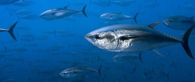 tuna_banner3