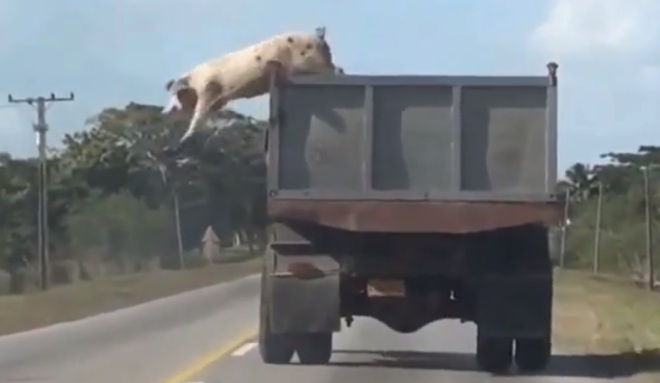 daring-pig-jumps-from-moving-truck-on-its-way-to-slaughterhouse-video-82486_1