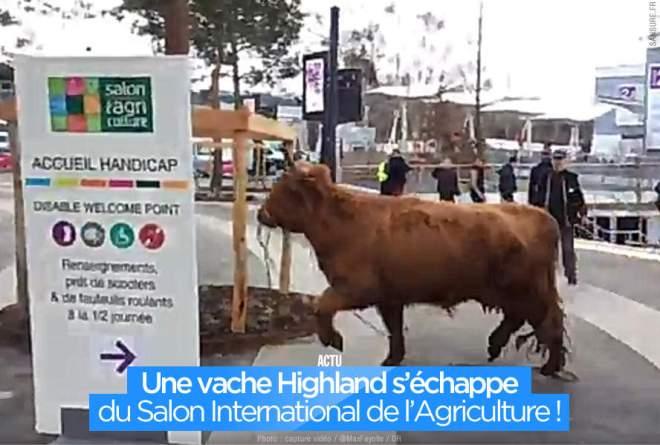 ob_92366f_une-vache-highland-s-echappe-du-salon